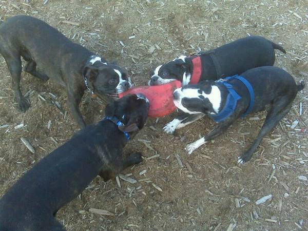 Boston Terriers vs Olde Boston Bulldogs