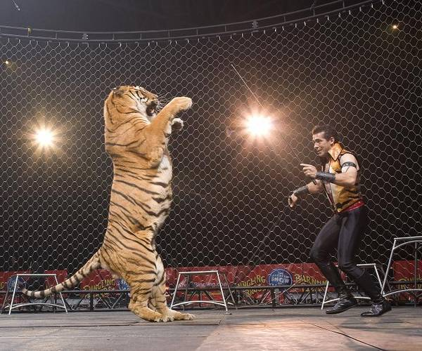 Daniel-Raffo-Tigers-at-Ringling-Bros-Circus