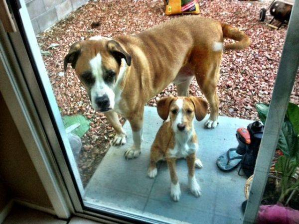 My 25 lb pup and my bros 165 lb boxer/saint Bernard!