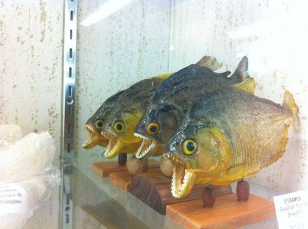 Piranha quartet!� We need to make a meme out of this.�