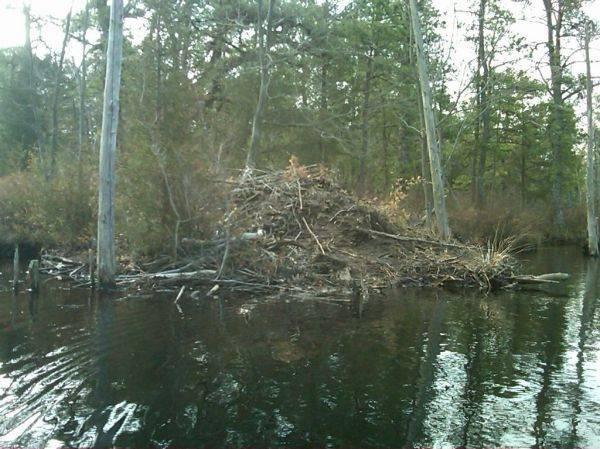 I found the beaver