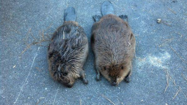 2 Beavers i brought home last nite... just finished nailing them ;)